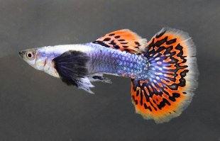 guppy platinum red mosaic big ear  (2)